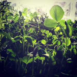 Sunflower and pea shoot microgreens